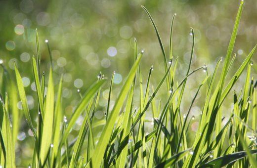 Gyepkeverékek speciális igényekhez: golf, szárazságtűrő, árnyéktűrő