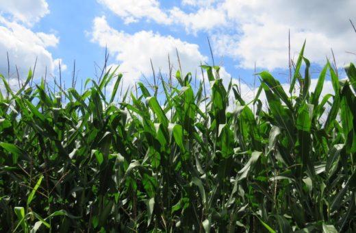 Kukorica cinkhiány