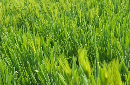 Gazdaságos és hatékony gyomirtás Farmmix búza csomaggal