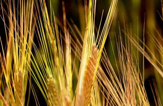 Hatékony fungicid használat a kalászos gabona védelmében