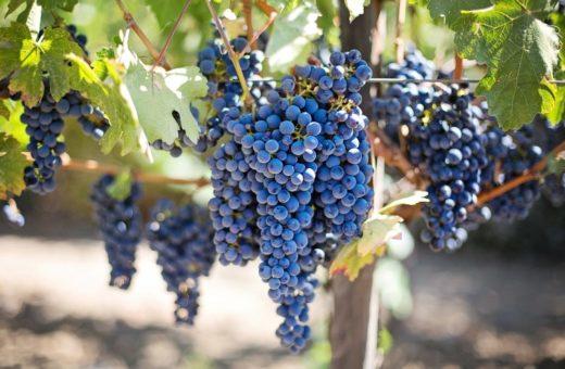 Lisztharmat elleni védekezés szőlőben