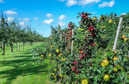 gyümölcsfák tápanyag-utánpótlása
